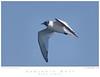 Gull_Sabine's TAB09MK3-14967