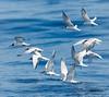 Common Tern<br /> Sterna hirundo