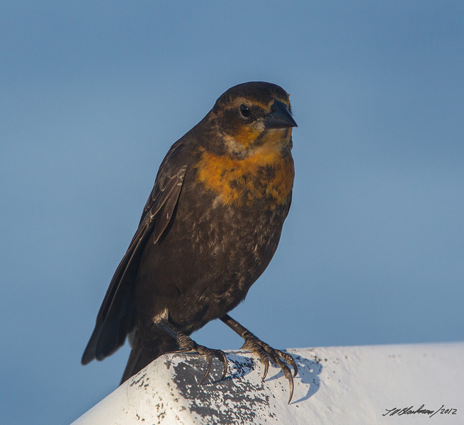 Yellow-headed Blackbird<br /> Resting on Pelagic Boat
