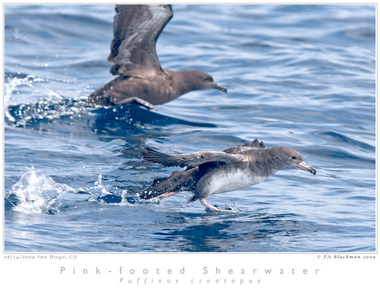 Shearwater_Pink-footed TAB09MK3-15605