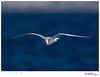 Gull_Bonaparte's TAB10MK4-34047