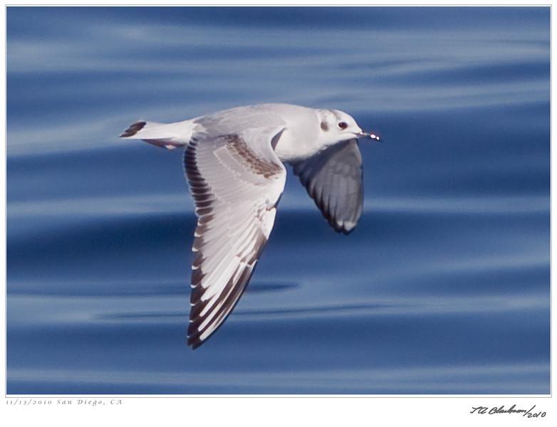 Gull_Bonaparte's TAB10MK4-33441