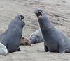 Seal_Elephant TAB10MK4-21383