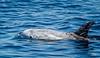 Dolphin_Rissos TAB12MK4-04066