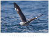 Gull_Herrmann's TAB10MK4-4441