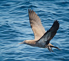 Brown Booby<br /> Sula leucogaster