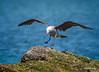 Herrman's Gull