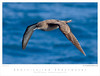 Shearwater_Short-tailed TAB08MK3-03725