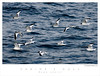 Sabines Gull TAB07N_05697