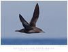 Shearwater_Short-tailed TAB10MK4-36241