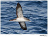 Shearwater_Pink-footed TAB11MK4-02538