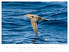Shearwater_Pink-footed TAB08MK3-10845