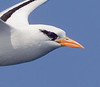 Tropicbird_White-tailed TAB11MK4-18644-Edit