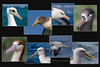 Albatross Head Composite