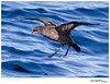 Shearwater_Short-tailed TAB10MK4-33659
