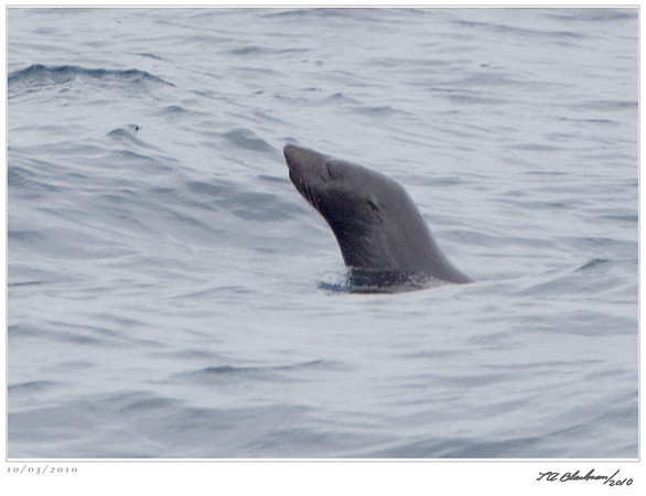 Seal_Fur TAB10MK4-30663-2