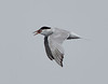 Common Tern<br /> Sterna hirundo