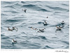 Phalaropes