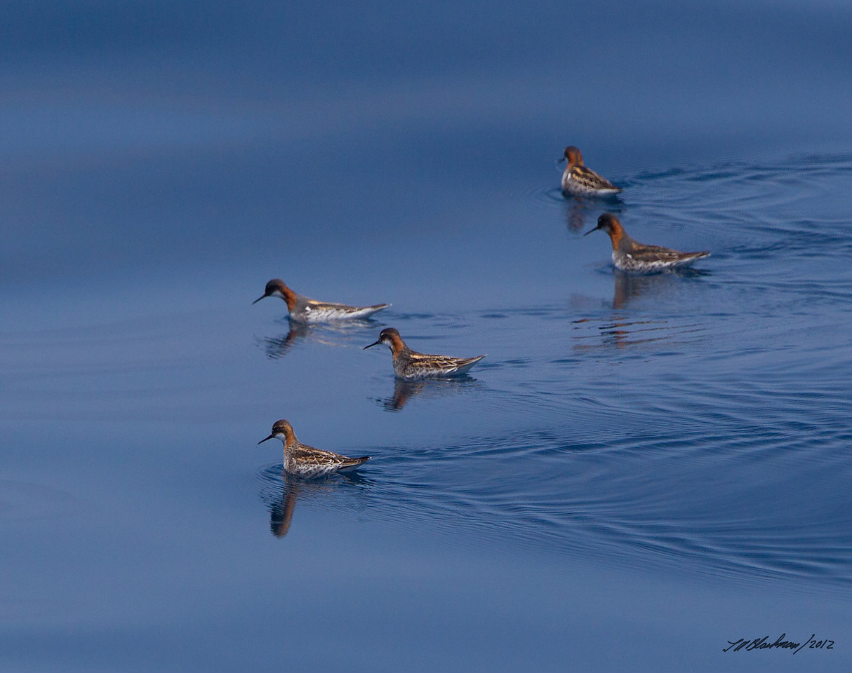 Red-necked Phalaropes<br /> Phalaropus lobatus