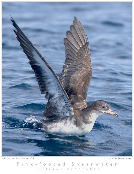Shearwater_Pink-footed TAB09MK3-15592