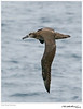 Albatross_Black-footed TAB10MK4-30703-2