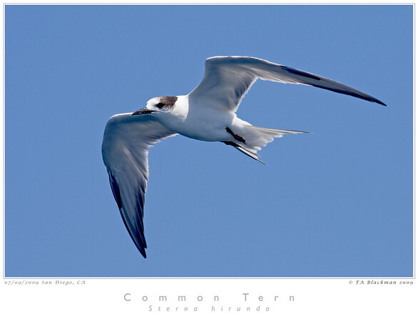 Tern_Common TAB09MK3-12763