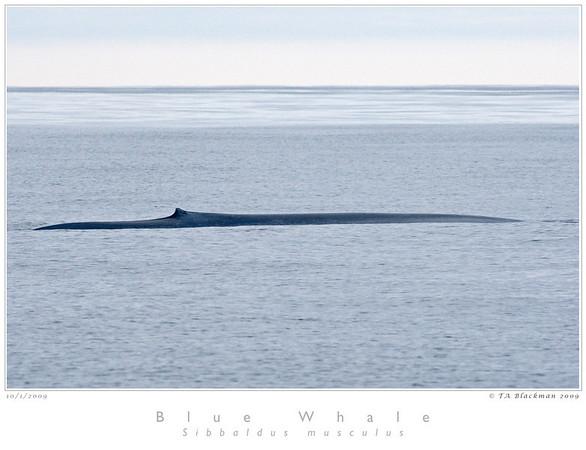 Whale_Blue TAB09MK3-18161