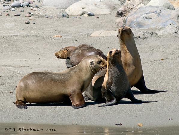 Sea Lion_California TAB10MK4-13836