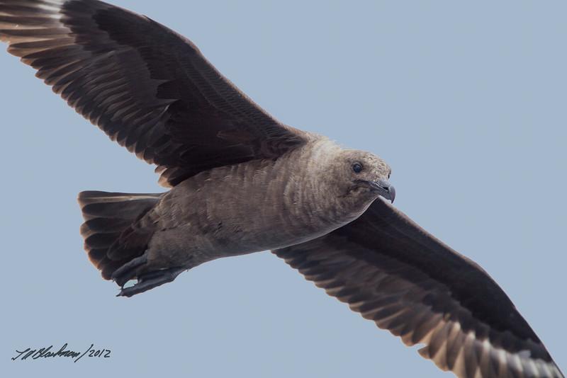 South Polar Skua<br /> Stercorarius maccormicki