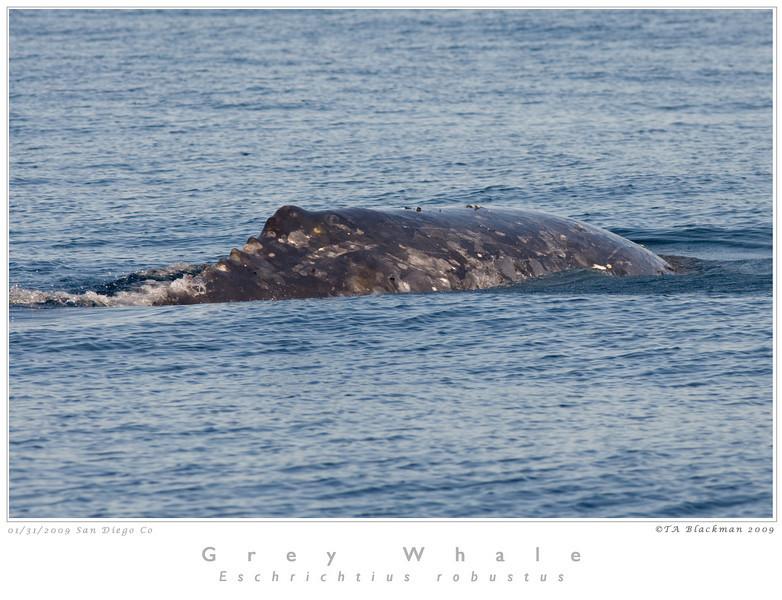 Whale_Grey TAB09MK3-01300 as Smart Object-1