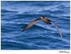Shearwater_Short-tailed TAB11MK4-156