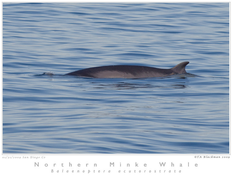Whale_Northern Minke TAB09MK3-01274 as Smart Object-1_1