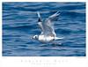 Gull_Sabine's TAB08MK3-11656