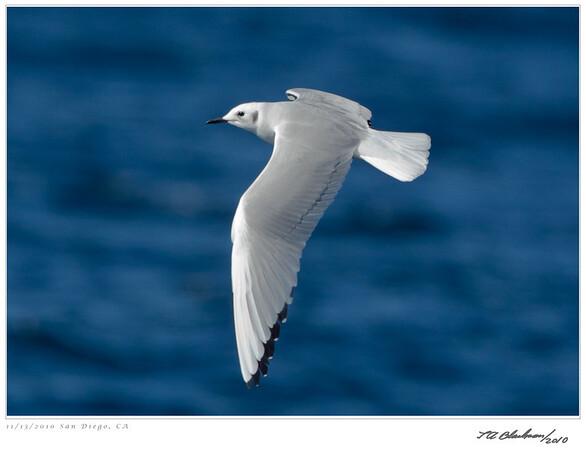 Gull_Bonaparte's TAB10MK4-33792