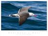 Gull_Heermann's TAB08MK3-01237