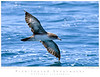Shearwater_Pink-footed TAB09MK3-13026