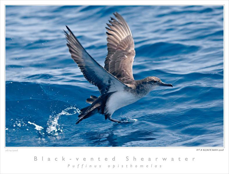 Shearwater_Black-vented TAB08MK3-11337