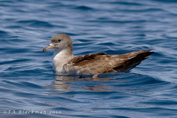 Shearwater_Pink-footed TAB10MK4-13683