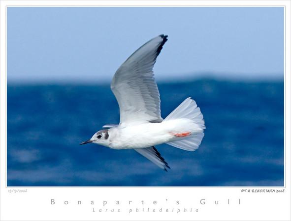 Gull_Bonaparts TAB08MK3-03760 copy