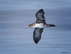 Pink-footed Shearwaters<br /> Puffinus creatopus