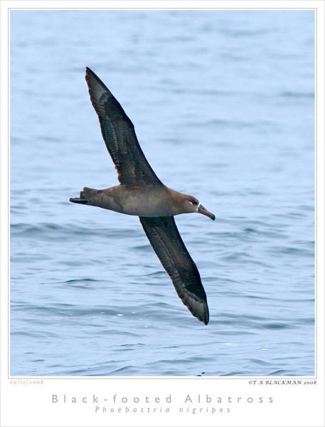 Albatross_Black-footed TAB08MK3-08109