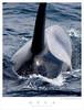 Orca TAB07N_05511