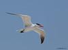 Caspian Tern<br /> Hydroprogne caspia