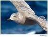 Gull_Glaucous-winged TAB10MK4-34097