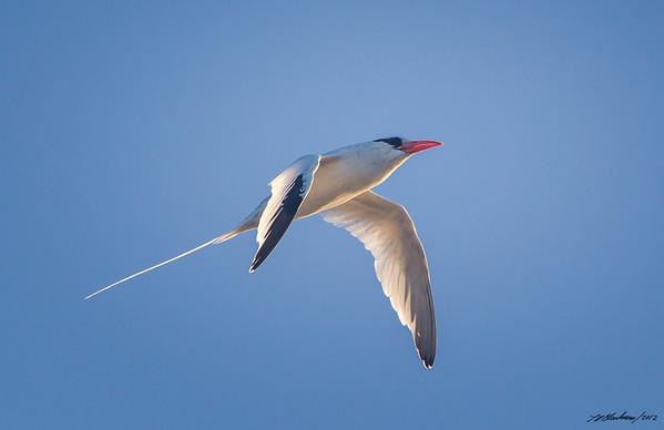Red-billed Tropicbird<br /> Phaethon aethereus