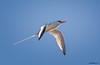 Red-billed Tropicbird<br /> Phaethon aethereus