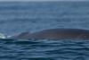Northern Minke Whale<br /> Balaenoptera acutorostrata