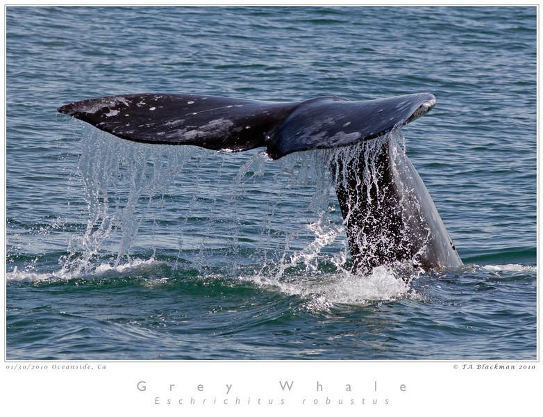 Whale_Grey TAB10MK4-02977