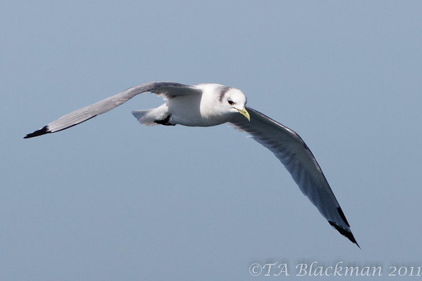 Kittiwake_Black-legged TAB11MK4-6163