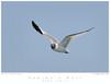 Gull_Sabine's TAB09MK3-14965